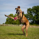 Joint Pain in Large Dogs