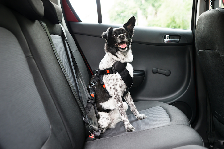 Dog Wearing Seatbelt