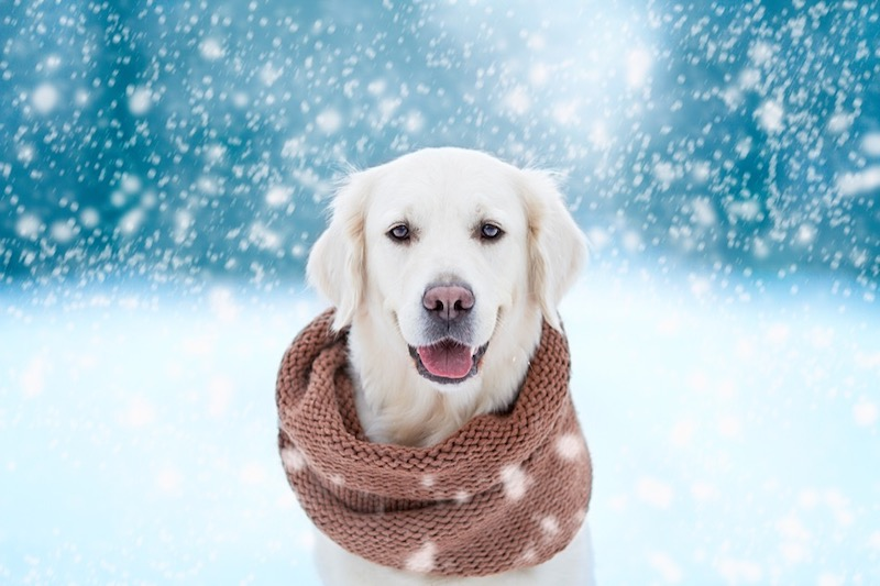 Dog with scarf and winter background.