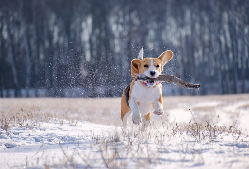 Dog running outdoors with stick.