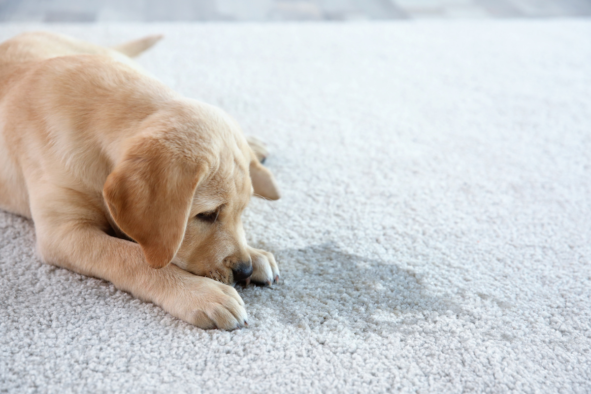 a yellow lab puppy laying next to a wet stain on a gray carpet