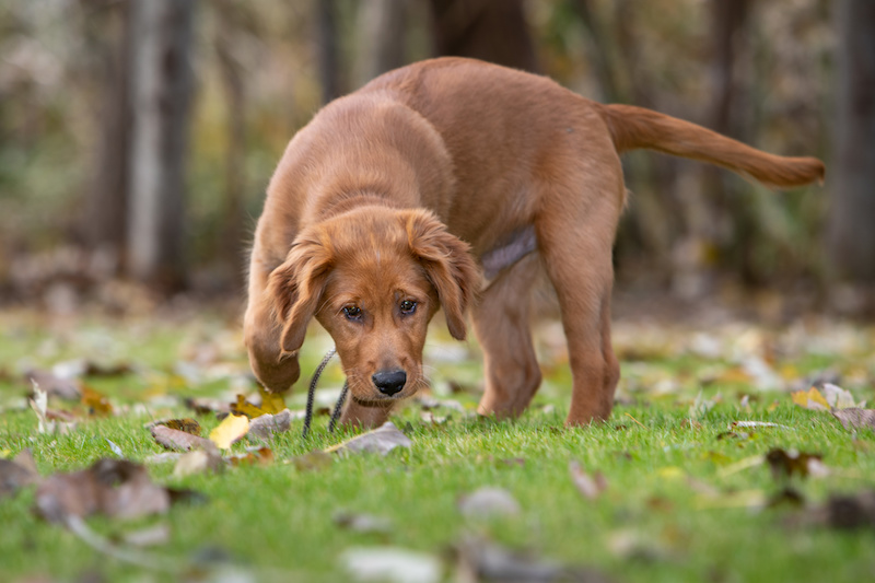 a golden retriever puppy sniffing outside in the grass