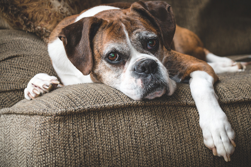 an old brown and white boxer laying on a brown sofa