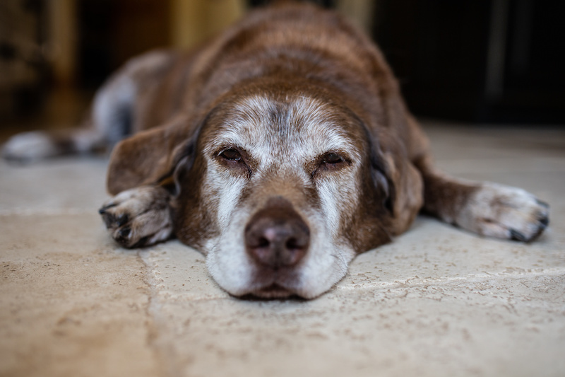 a brown dog with gray fur on its face laying on a tile floor