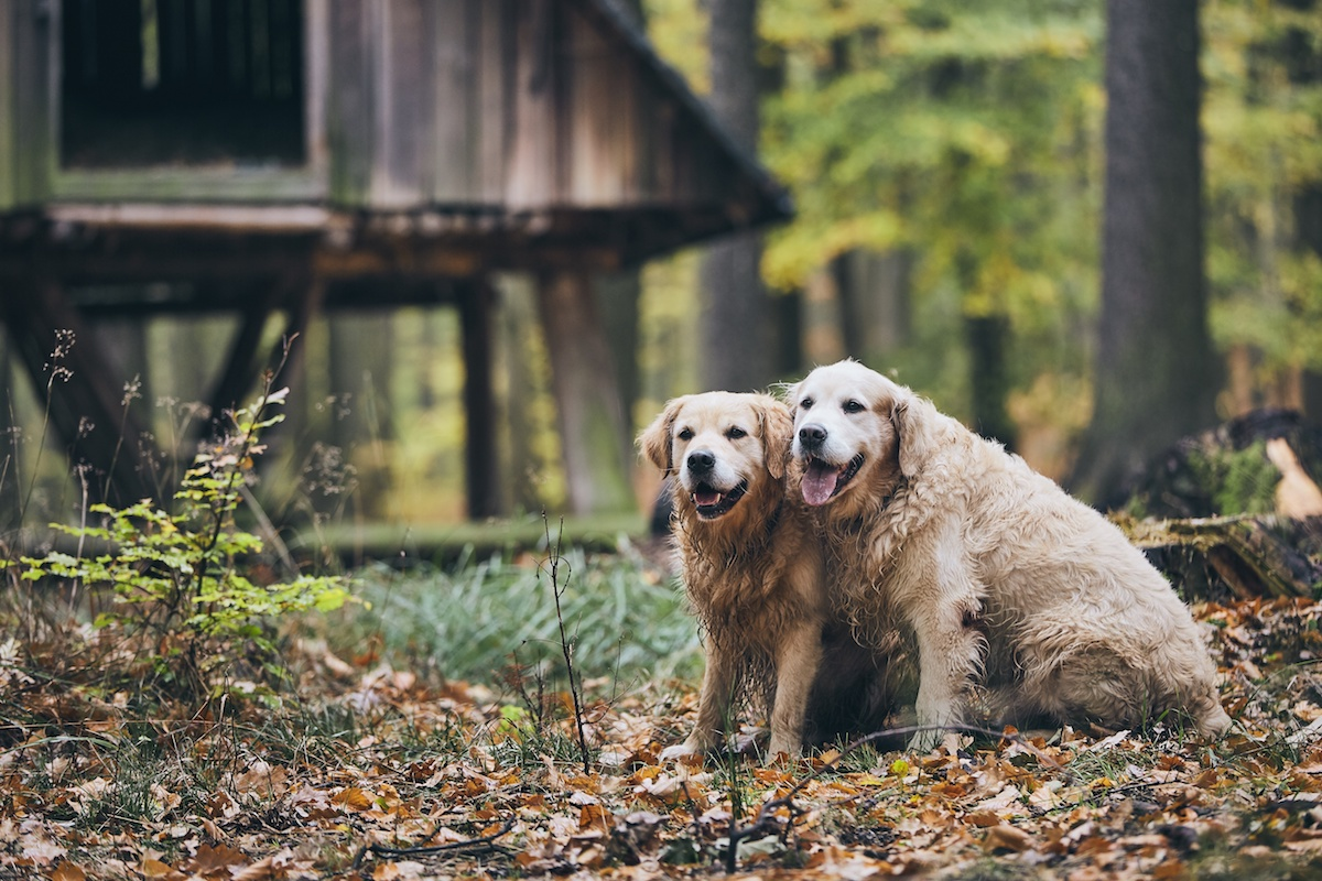 two old golden retrievers sitting in front of a structure in the woods