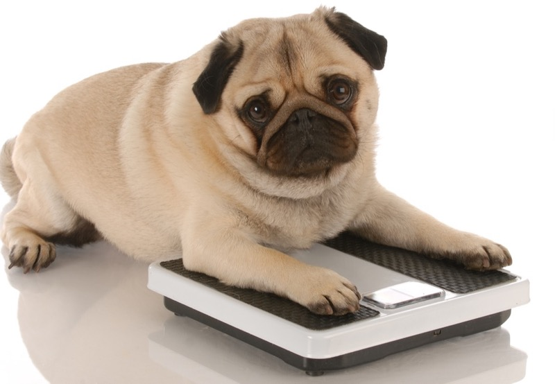 Best Ways to Manage Your Dog's Weight