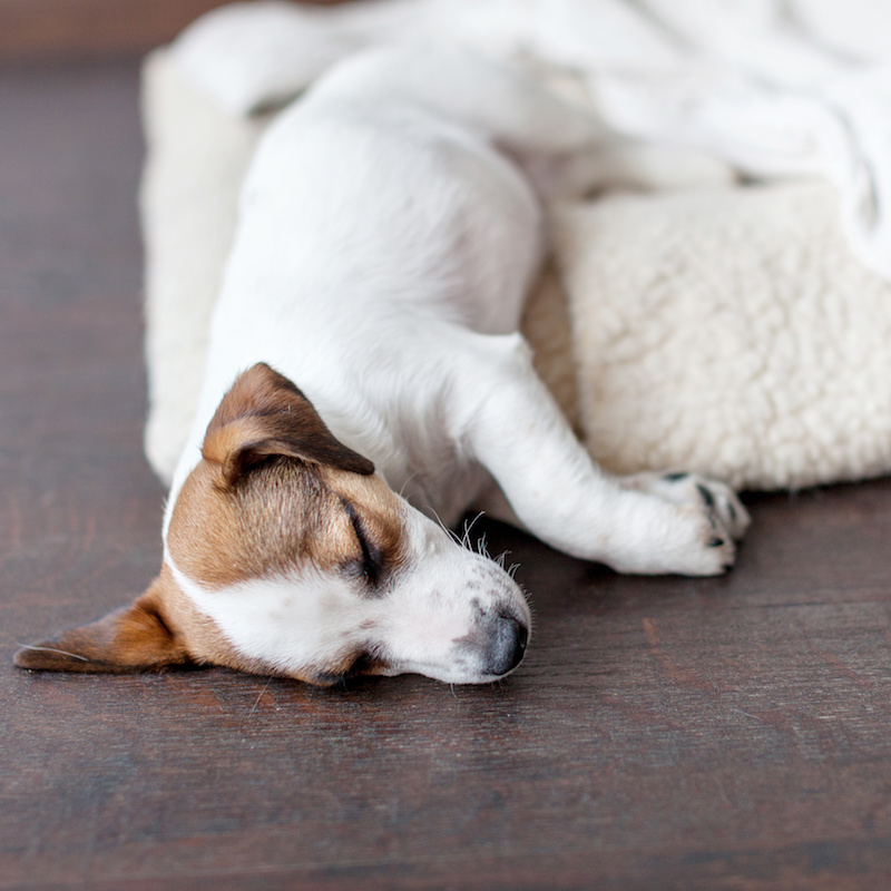a white and brown puppy sleeping with half its body on a bed and half on the floor