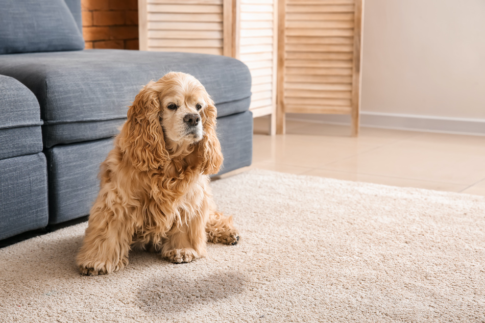 Dog Urine on Your Carpet? Don't Panic