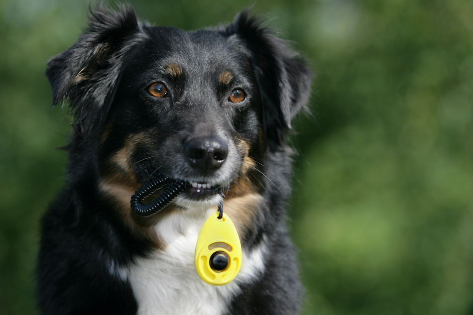 Clicker Training 101: How to Train Your Dog to Auditory Cues
