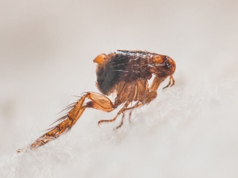 Finding Fleas Inside Your Home